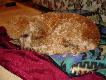 Пудели, как и все собаки, обожают поспать