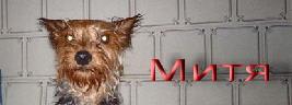 Добро пожаловать на сайт Йоркширского терьера МИТИ